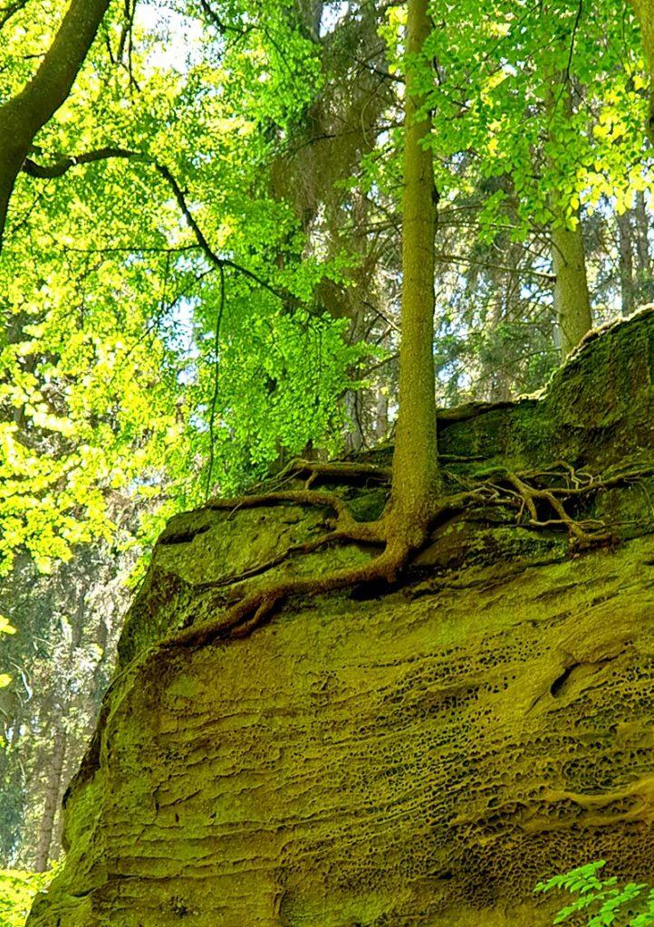 Wandern in Luxemburg - bizarre Baumwurzel