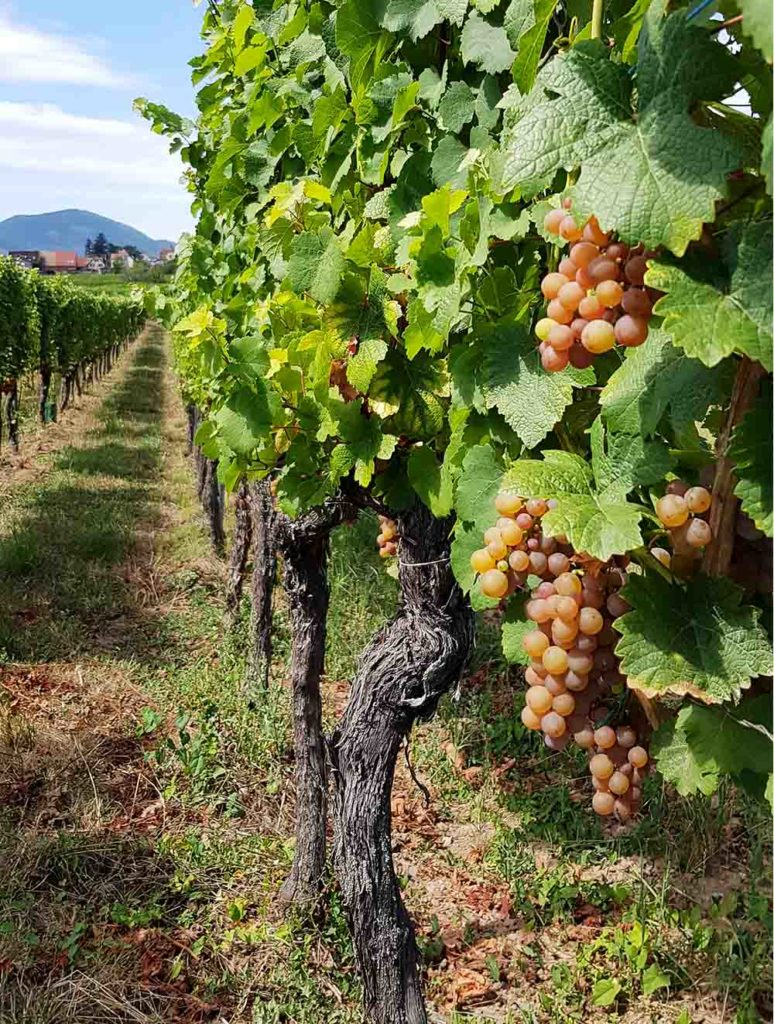 Weinstöcke im Elsass